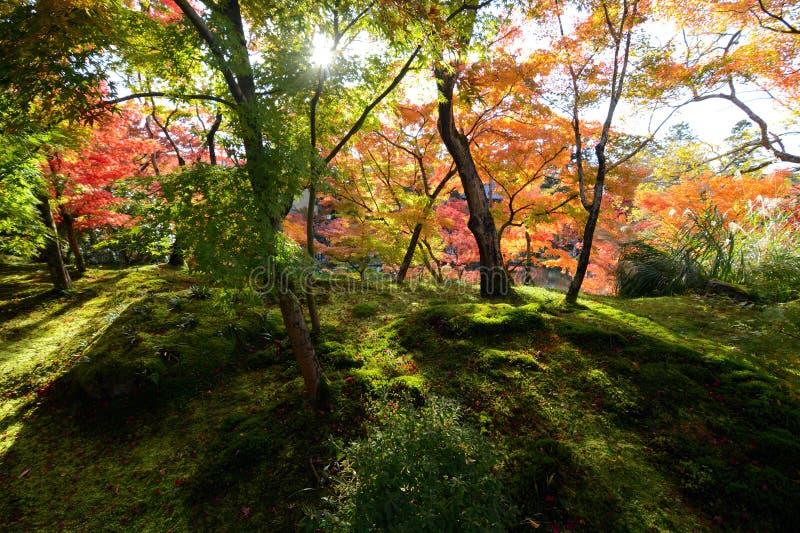 Лес мха греемый лучами солнечного света падая через сень осени покрасил деревья клена стоковые фото