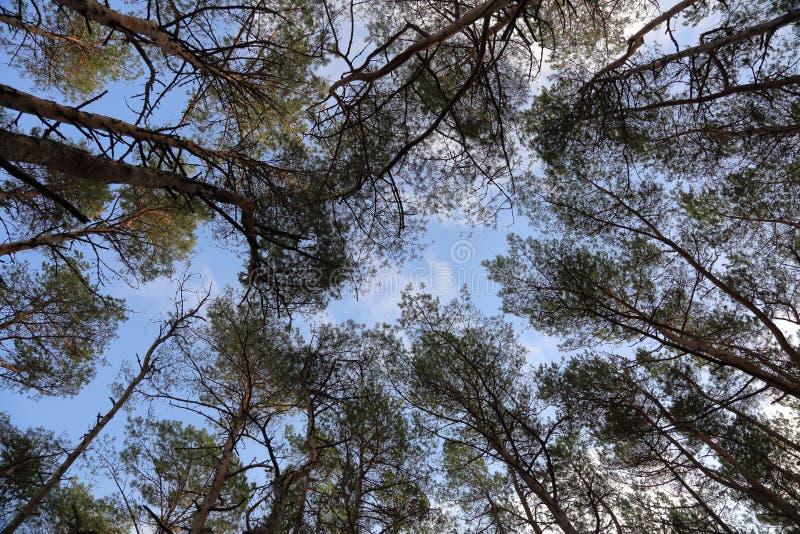 Лес на вертеле Curonian, Россия осени стоковое фото