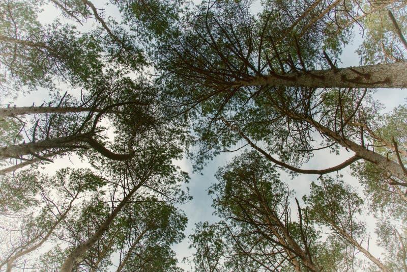 Лес на вертеле Curonian, Россия осени стоковое изображение