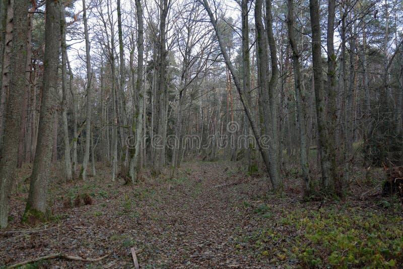 Лес на вертеле Curonian, Россия осени стоковая фотография