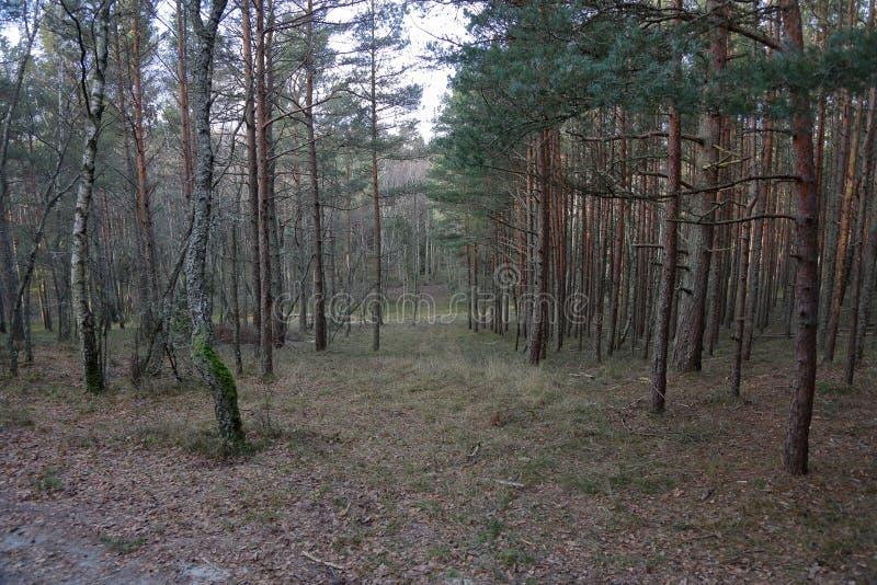 Лес на вертеле Curonian, Россия осени стоковое фото rf