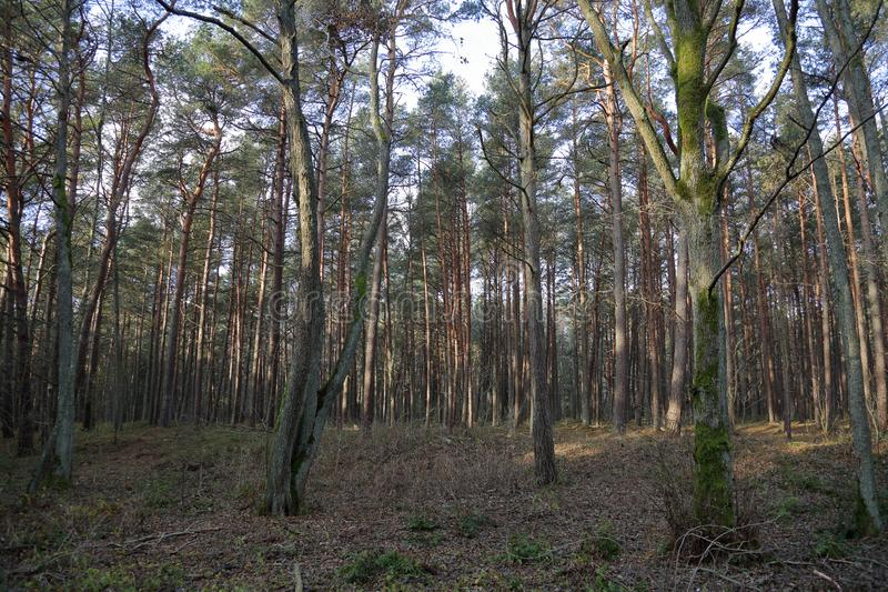 Лес на вертеле Curonian, Россия осени стоковые фото
