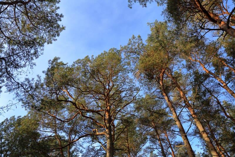 Лес на вертеле Curonian, Россия осени стоковая фотография rf