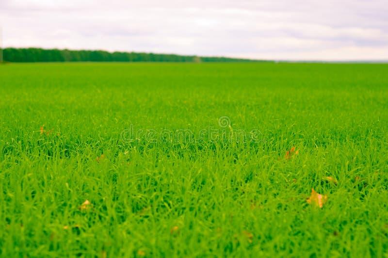Лес на краю зеленого поля стоковое фото rf