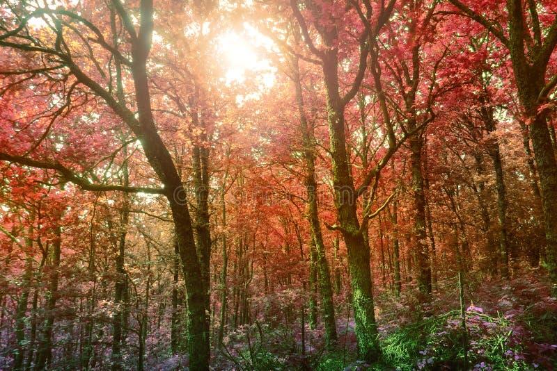 Лес отображенный в ультракрасном - Mount Olympus, Греция стоковые изображения
