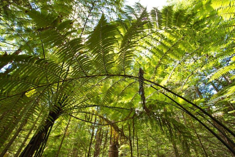 Лес папоротников дерева и гигантских Redwoods в лесе Whakarewarewa около Rotorua стоковые фотографии rf
