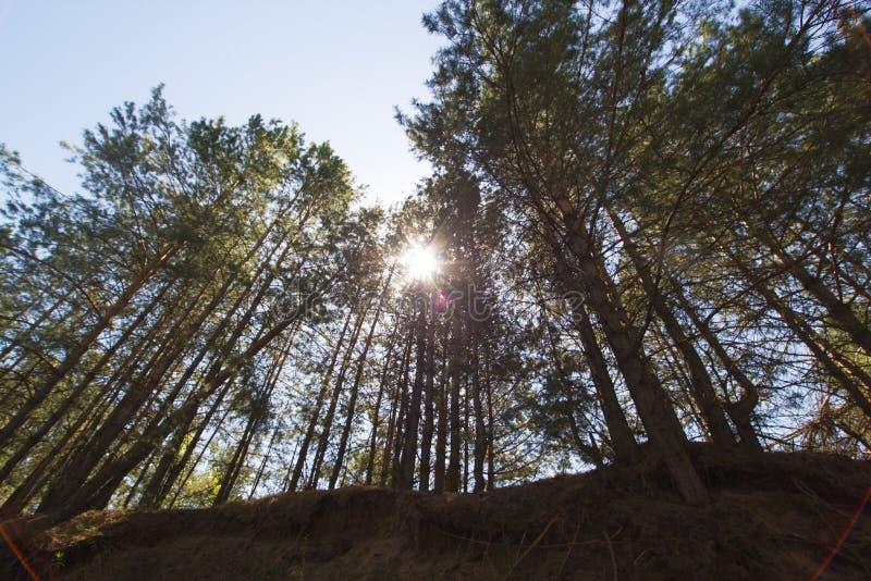 Лес при солнечный свет пропуская через сосны стоковые фото
