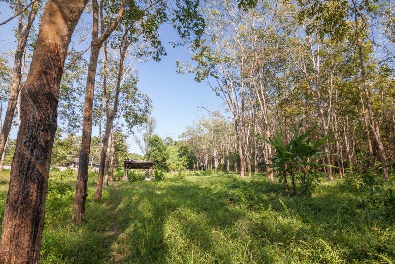 Лес резинового дерева стоковое фото rf