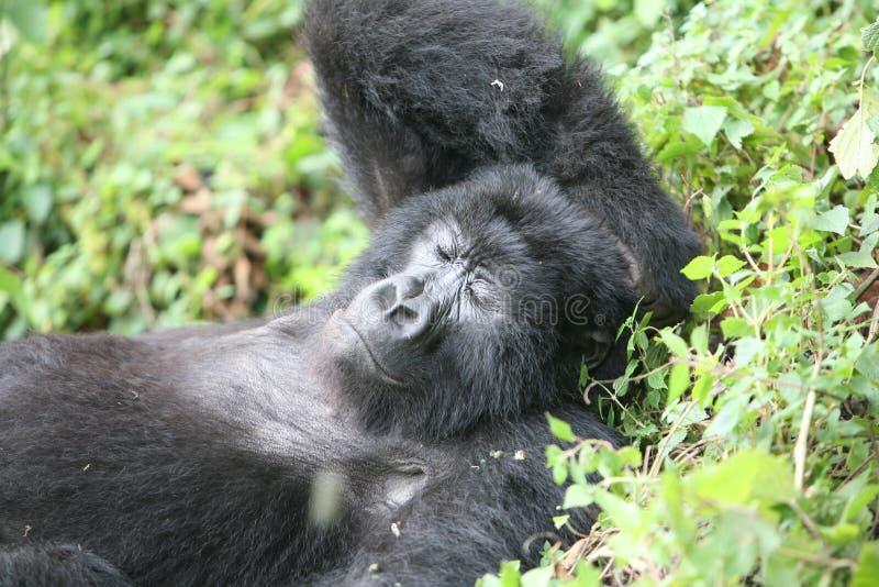 Лес Руанды Африки одичалой гориллы животный тропический стоковая фотография