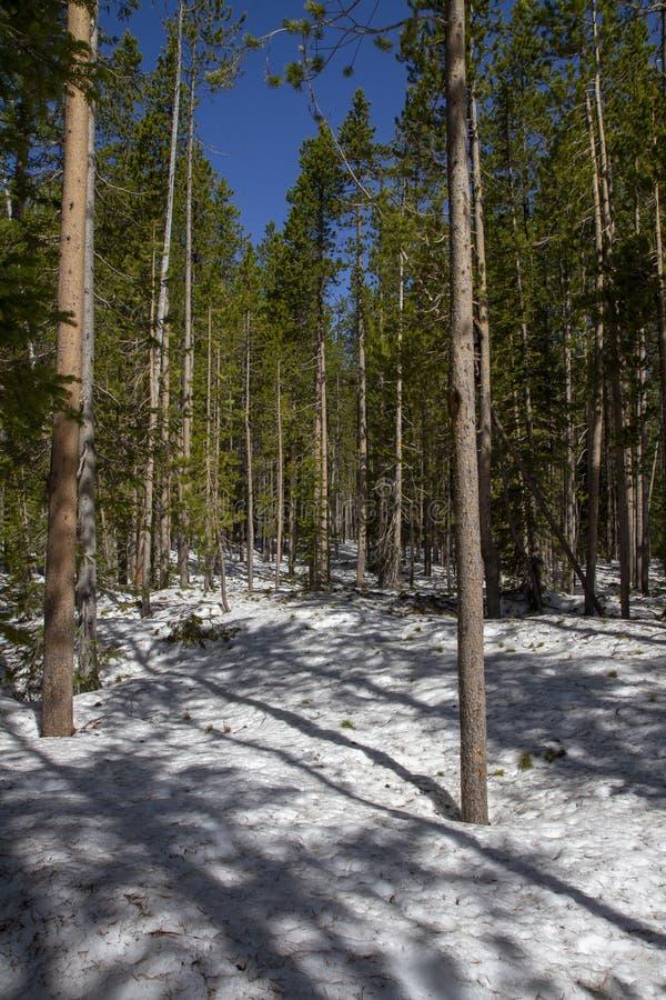 Лес снега внутри Йеллоустон стоковые фотографии rf