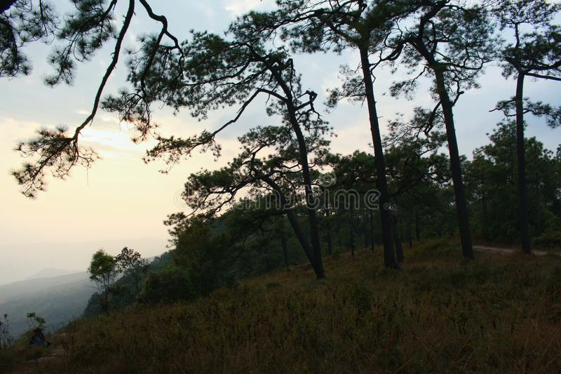 Лес сосен в высокой горе, Таиланде стоковые изображения rf