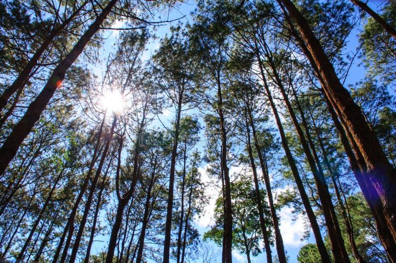 Лес сосен стоковая фотография