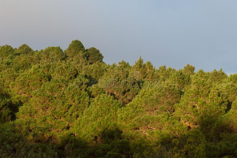 Лес сосны Халеба стоковое фото