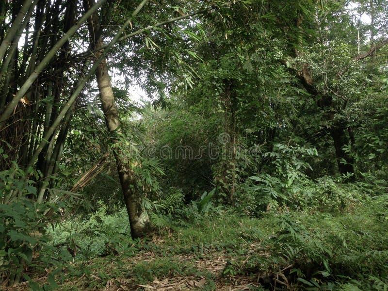 Лес с бамбуком в южных celebes стоковое изображение rf
