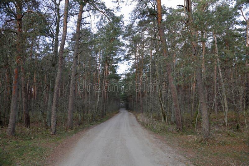 Лес танцев, вертел Curonian, Россия стоковая фотография rf