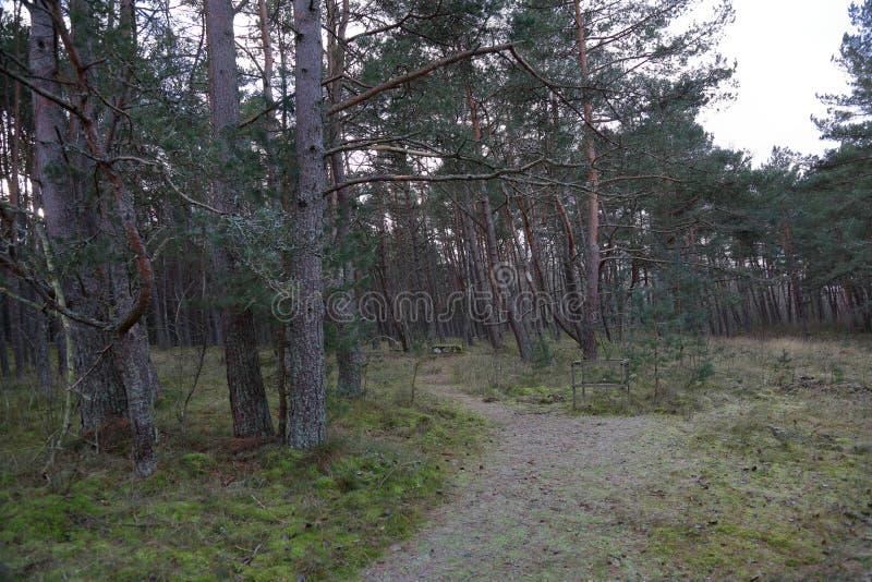 Лес танцев, вертел Curonian, Россия стоковая фотография