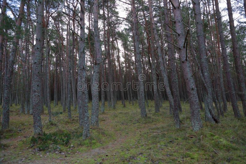 Лес танцев, вертел Curonian, Россия стоковое фото rf