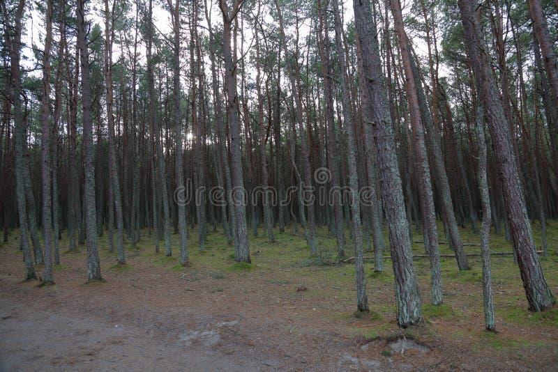 Лес танцев, вертел Curonian, Россия стоковые изображения