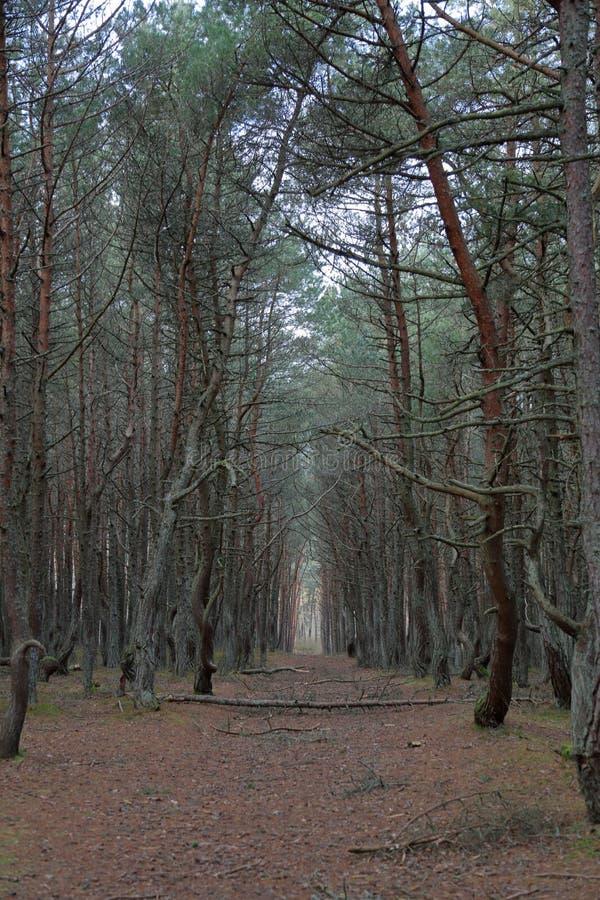 Лес танцев, вертел Curonian, Россия стоковые фотографии rf