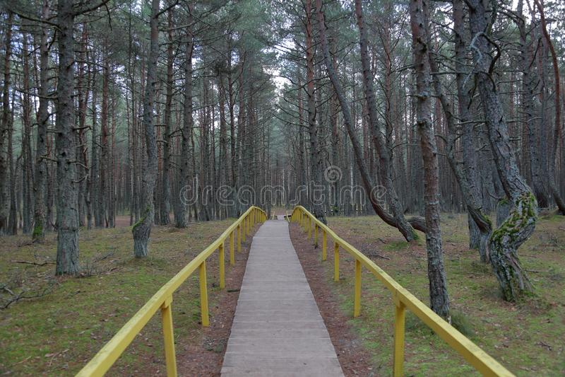 Лес танцев, вертел Curonian, Россия стоковое изображение