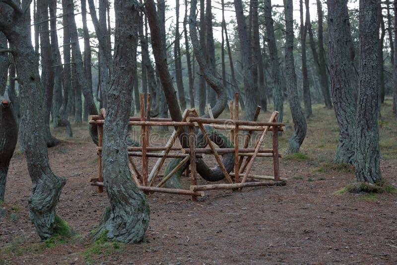 Лес танцев, вертел Curonian, Россия стоковые фото