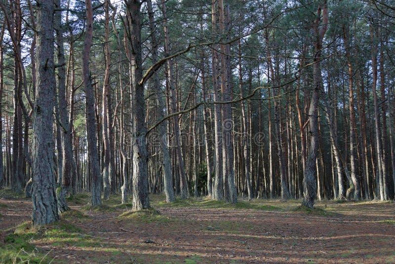 Лес танцев, вертел Curonian, Россия стоковые изображения rf