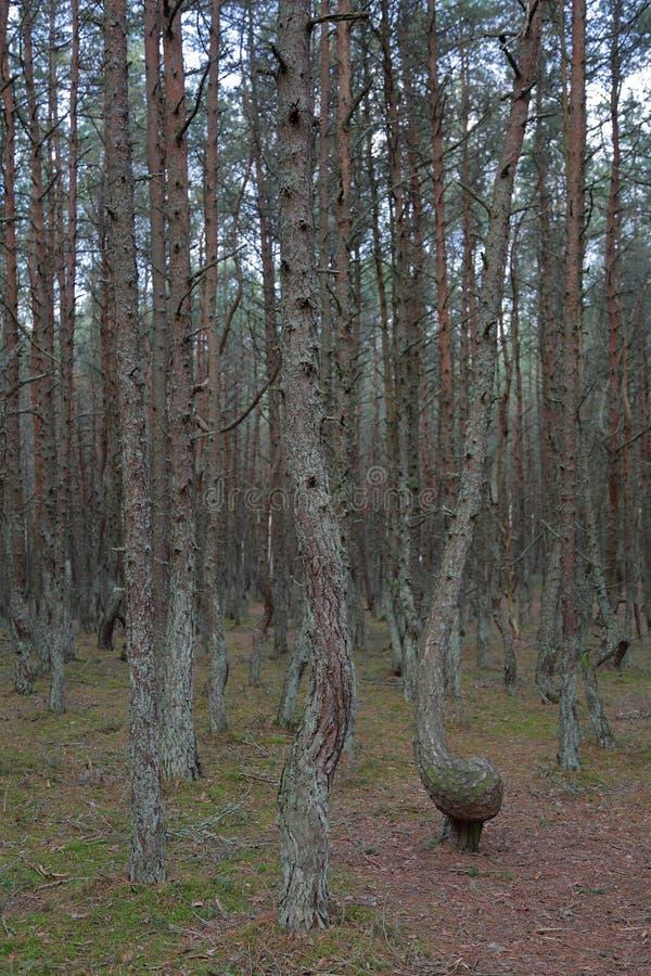 Лес танцев, вертел Curonian, Россия стоковое изображение rf