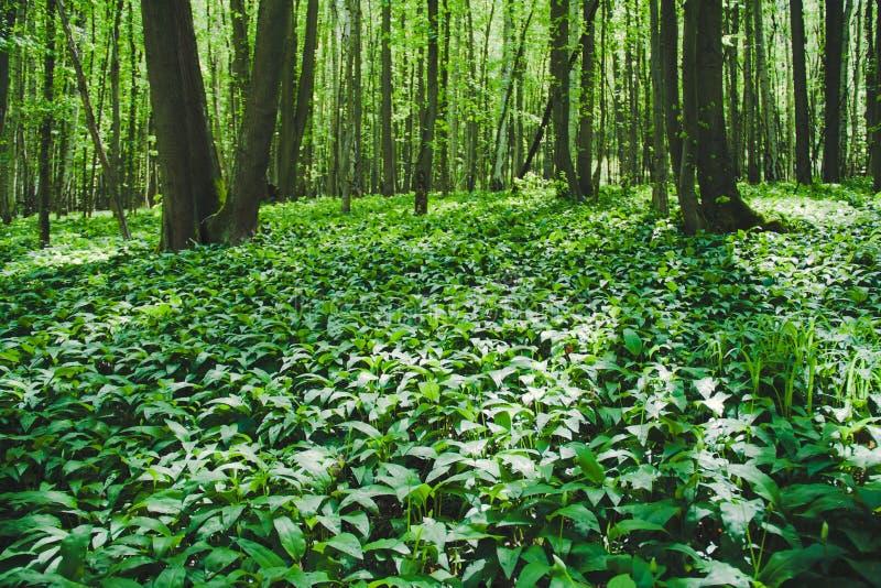 Лес лук-порея медведя стоковое фото rf