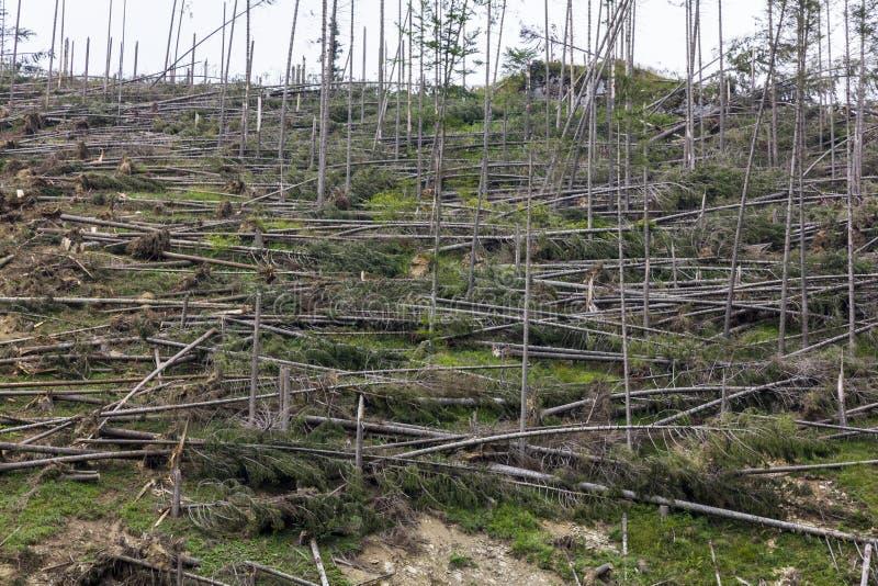 Лес упаденных елевых деревьев стоковое фото rf