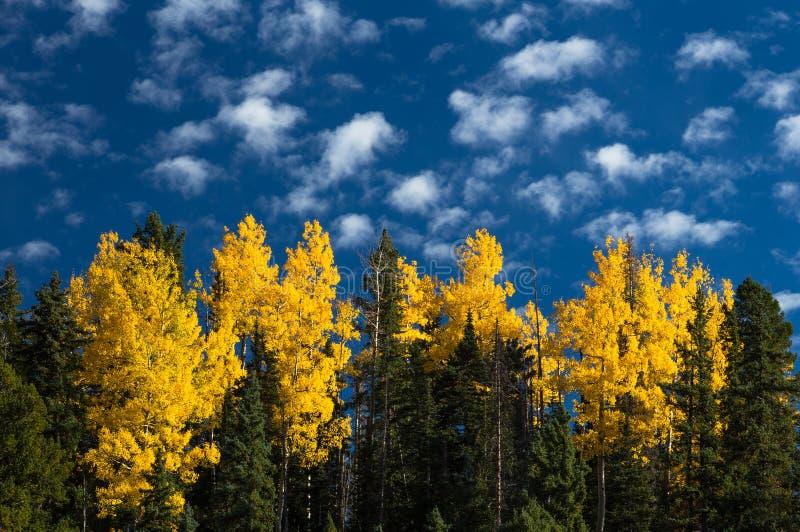 Лес Aspen стоковые изображения rf