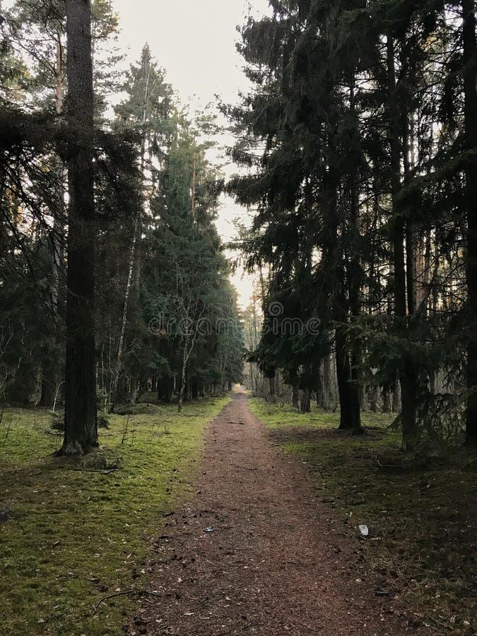 Лес Magestic в Klaipeda стоковое фото rf