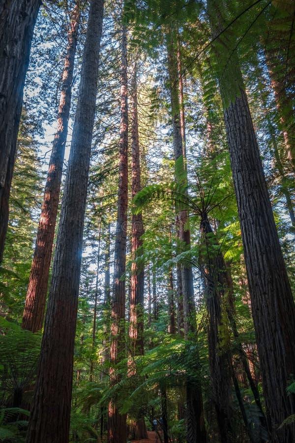 Лес redwood гигантской секвойи, Rotorua, Новая Зеландия стоковые фото