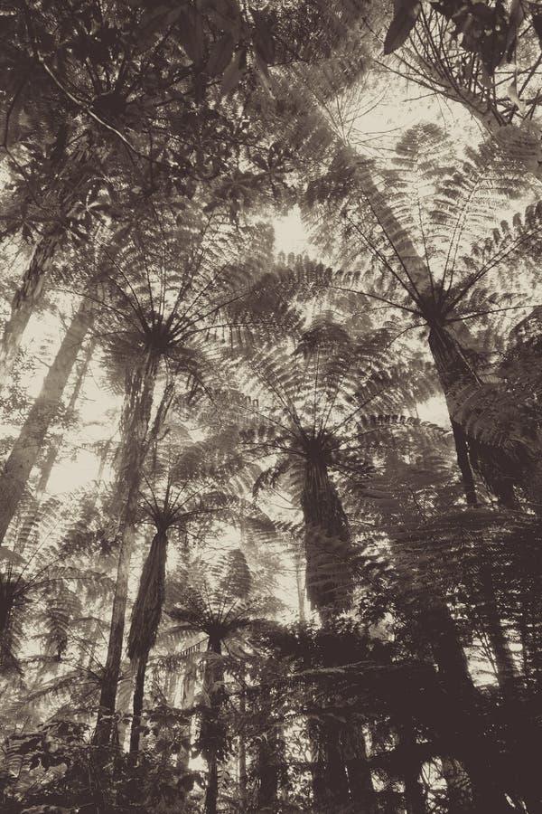 Лес redwood гигантской секвойи, Rotorua, Новая Зеландия стоковая фотография rf