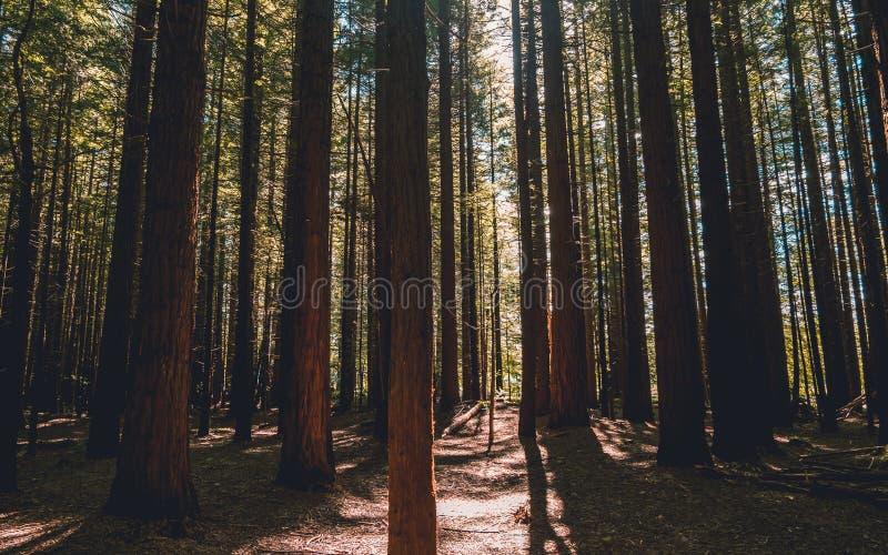 Лес Redwood - Rotorua стоковая фотография rf