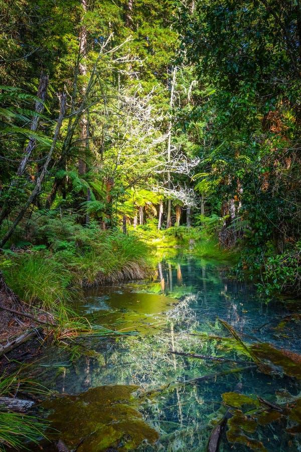 Лес Redwood Whakarewarewa, Rotorua, Новая Зеландия стоковая фотография rf