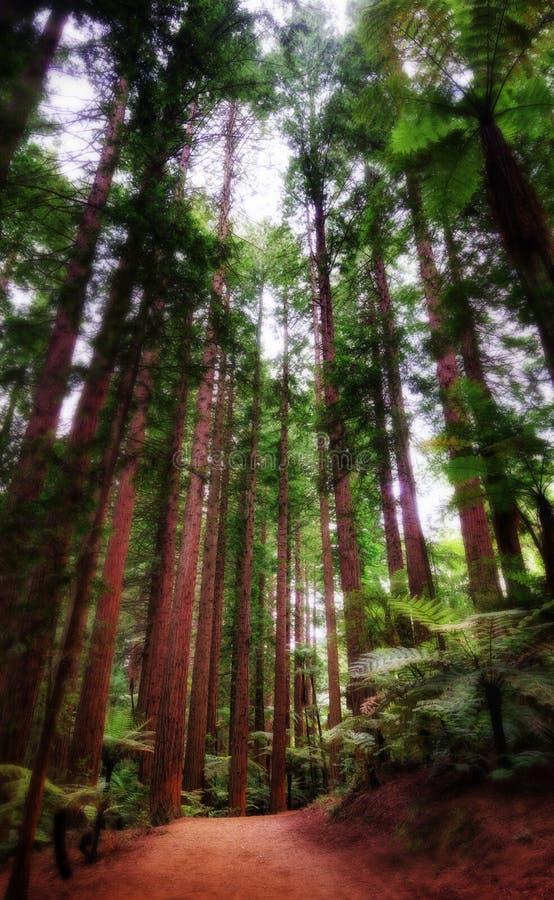 Лес Rotorua Новая Зеландия Whakarewarewa Redwoods стоковая фотография