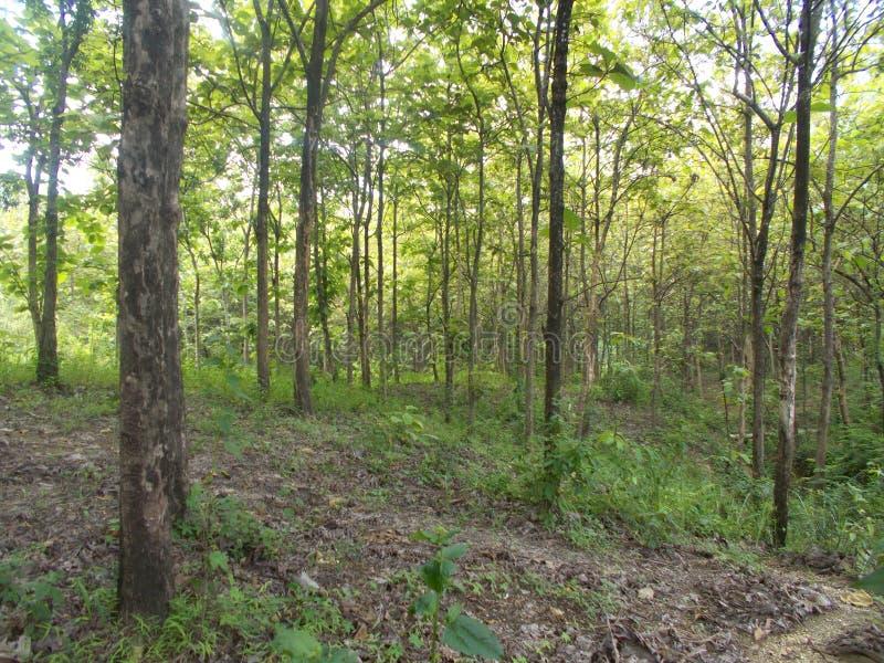 Лес Teak на холме стоковые фото