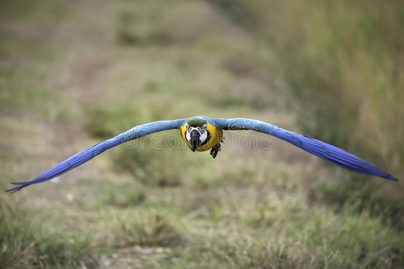 Летание ары сини и золота в рисе field стоковое фото