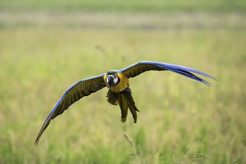 Летание ары сини и золота в рисе field стоковое изображение rf