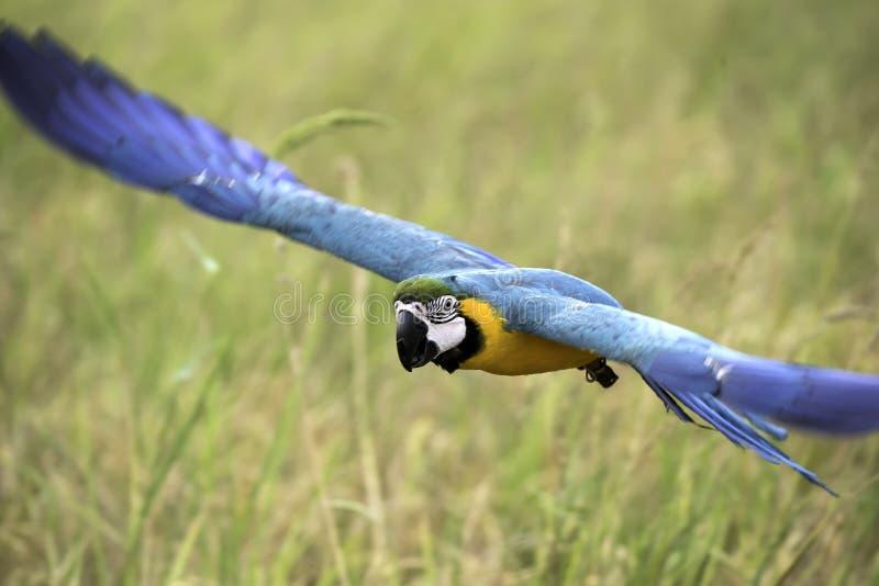 Летание ары сини и золота в рисе field стоковая фотография rf