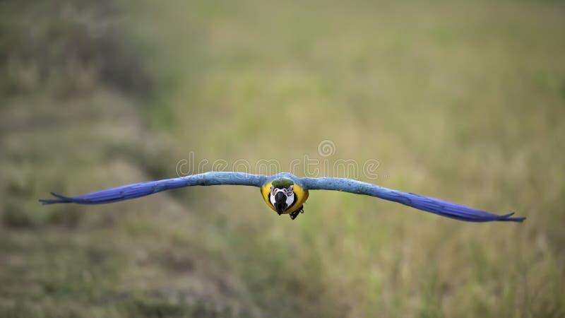 Летание ары сини и золота в рисе field стоковые фотографии rf