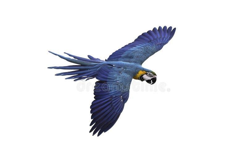 Летание ары сини и золота на белой предпосылке, пути клиппирования стоковое фото rf