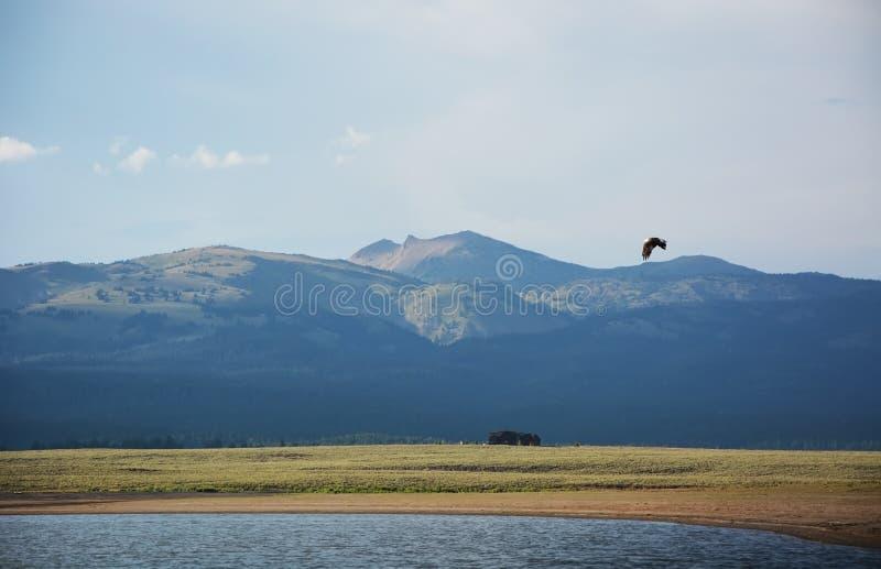 Летание белоголового орлана над Рекой Снейк стоковая фотография