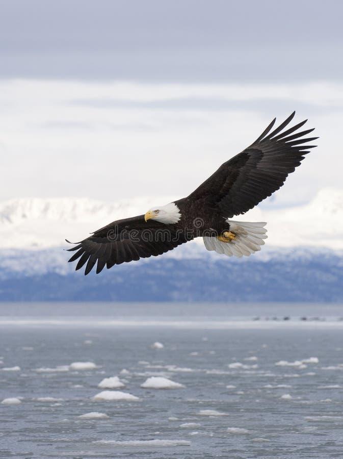 Летание белоголового орлана с над заливом с льдом в воде на почтовом голубе стоковое изображение
