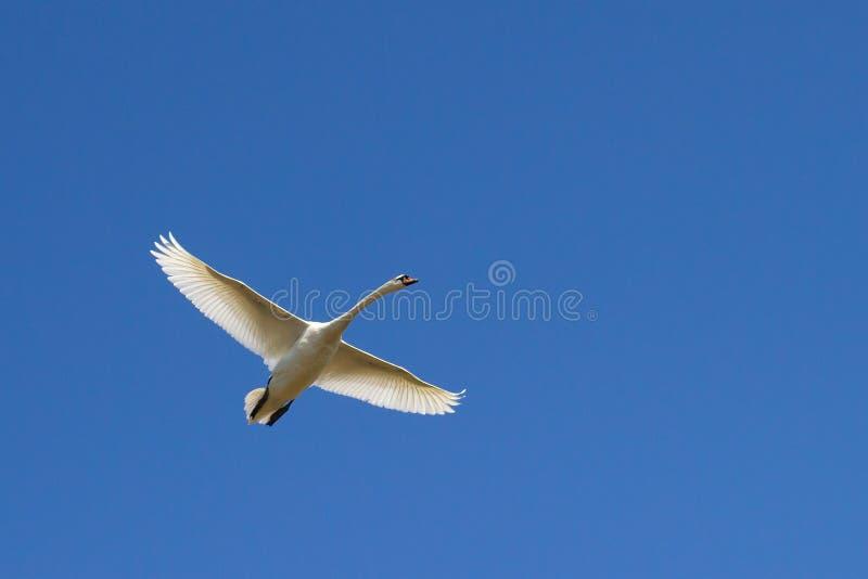 Летание лебедя в голубом небе стоковая фотография