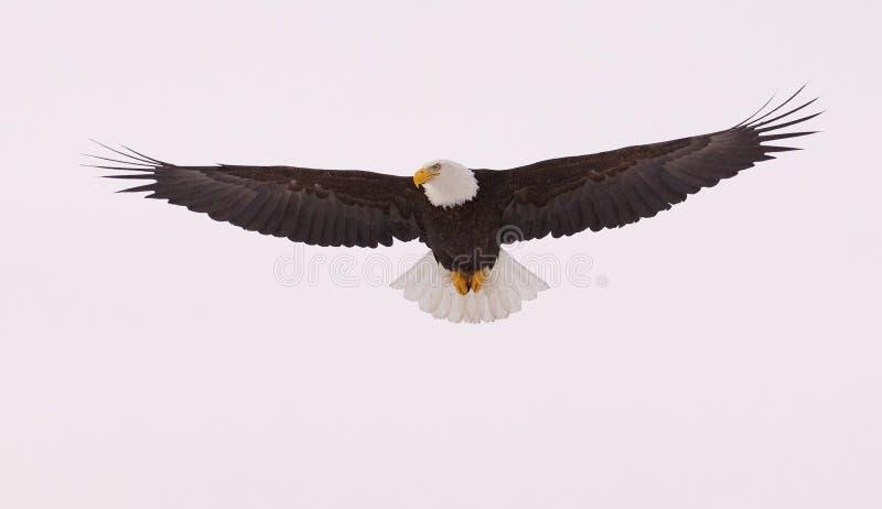 летание облыселого орла стоковые фотографии rf