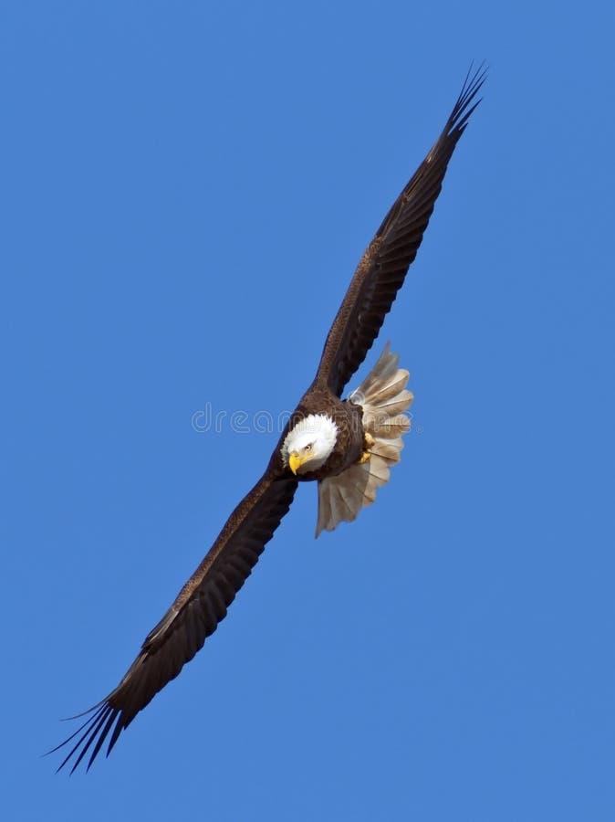 летание облыселого орла стоковая фотография