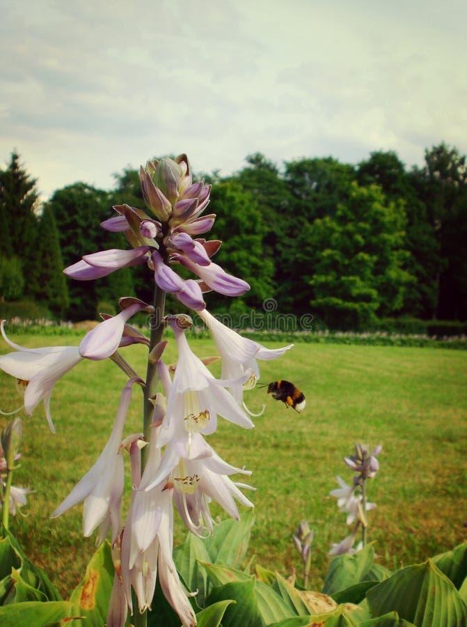 Летание около цветка, летнее время шмеля стоковое изображение