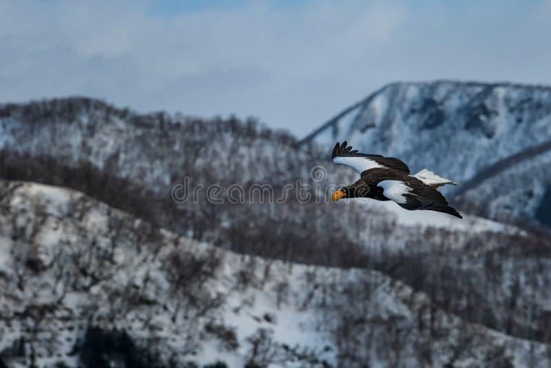 Летание орла моря Steller перед пейзажем гор зимы в Хоккаидо, силуэте птицы Красивый пейзаж природы в зиме стоковая фотография