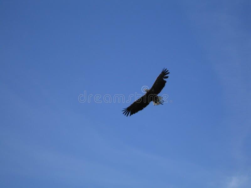 Летание орла на голубом небе стоковая фотография